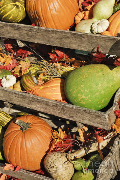 Acorn Squash Photograph - Iconic Autumn Vegetables by Jeremy Woodhouse