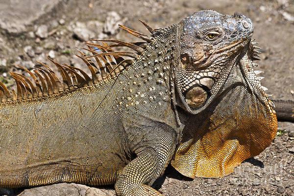 Photograph - Iguana Male by Heiko Koehrer-Wagner