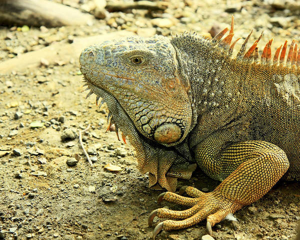 Photograph - Iguana by Nick Mares