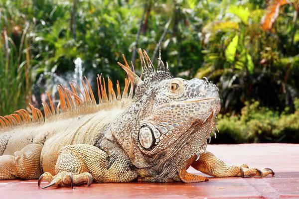 Jalisco Photograph - Iguana by Showing the world ..