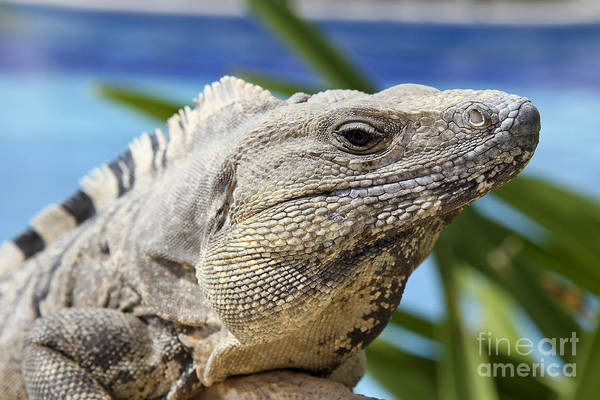 Iguana Photograph - Iguana by Teresa Zieba