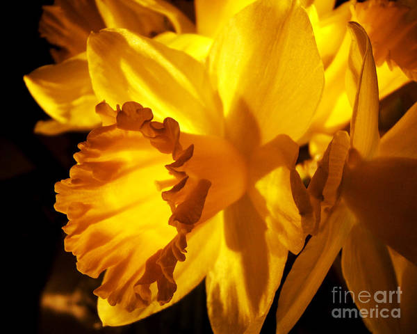 Photograph - Illuminated Daffodil Photograph by Kristen Fox