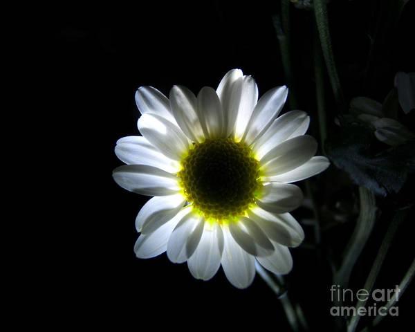 Photograph - Illuminated Daisy Photograph by Kristen Fox