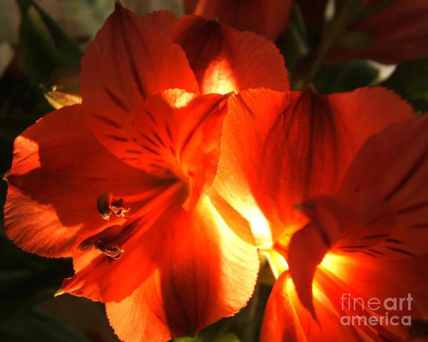 Photograph - Illuminated Red Orange Alstromeria Photograph by Kristen Fox