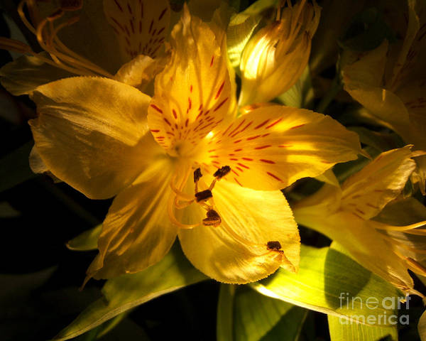 Photograph - Illuminated Yellow Alstromeria Photograph by Kristen Fox