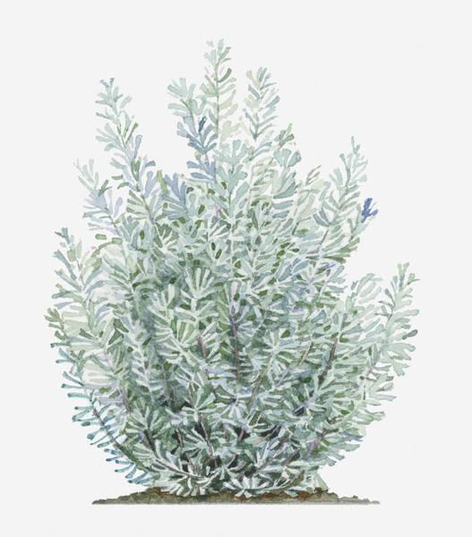 Vertical Digital Art - Illustration Of Artemisia Tridentata (sagebrush) Shrub by Liz Pepperell