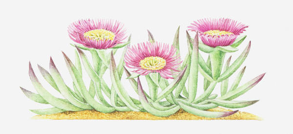 Ice Plant Digital Art - Illustration Of Carpobrotus Edulis (hottentot Fig), Pink Flowers by Helen Senior