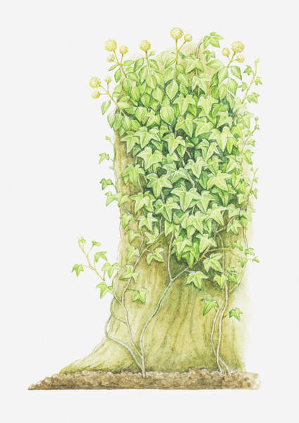 Senior Digital Art - Illustration Of Hedera Helix (ivy) Growing On A Tree Trunk by Helen Senior
