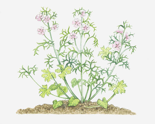 Mallow Family Wall Art - Digital Art - Illustration Of Malva Moschata (musk Mallow), Stems With Leaves And Pink Flowers by Michelle Ross