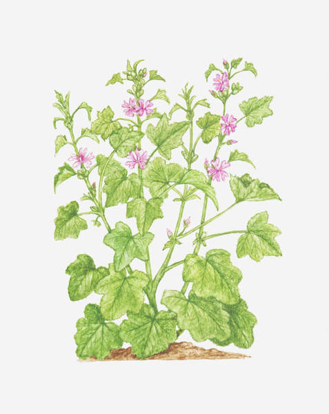 Mallow Family Wall Art - Digital Art - Illustration Of Malva Sylvestris (common Mallow), Wildflowers by Tricia Newell