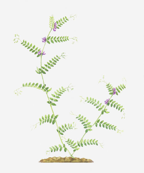 Senior Digital Art - Illustration Of Vicia Sepium (bush Vetch), Branched Stems With Leaves And Tiny Purple Flowers by Helen Senior