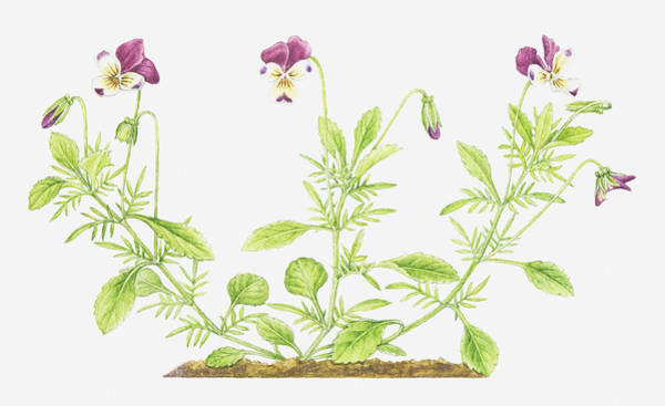 Senior Digital Art - Illustration Of Viola Tricolor (wild Pansy), Wildflowers by Helen Senior