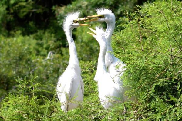 Photograph - Immature Egrets by Bill Hosford