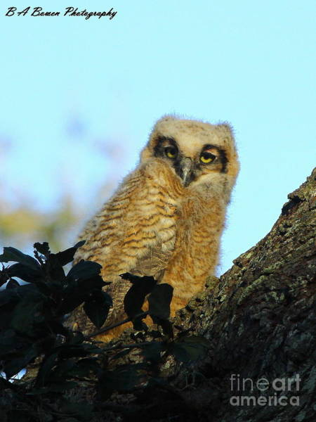 Photograph - Immature Great Horned Owl by Barbara Bowen