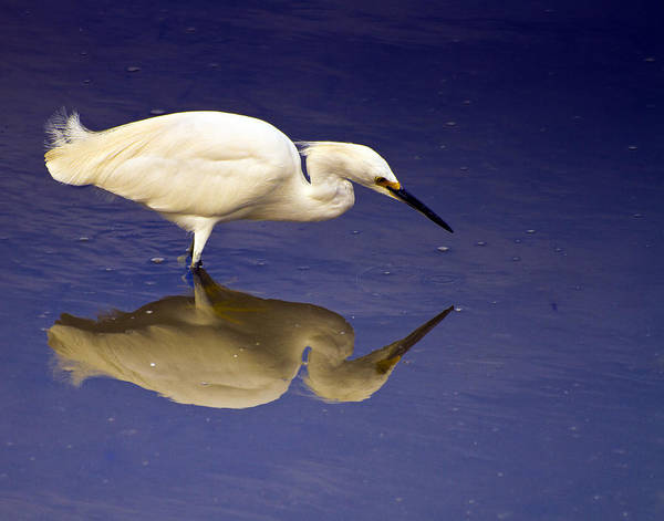 Photograph - Immature White Egret by Bill Barber