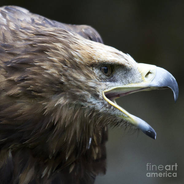 Faunal Photograph - Imperial Eagle 2 by Heiko Koehrer-Wagner