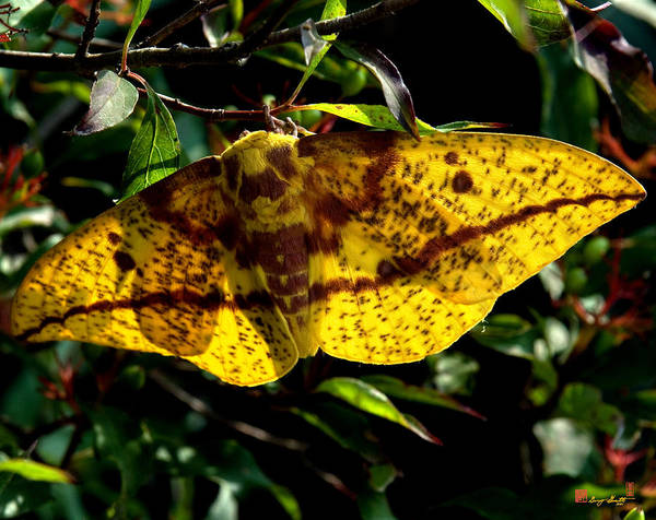 Photograph - Imperial Moth Din053 by Gerry Gantt