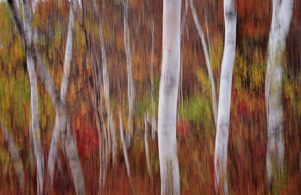 Earthtones Photograph - Abstract Impressions Vermont Birch Forest  by T-S Fine Art Landscape Photography