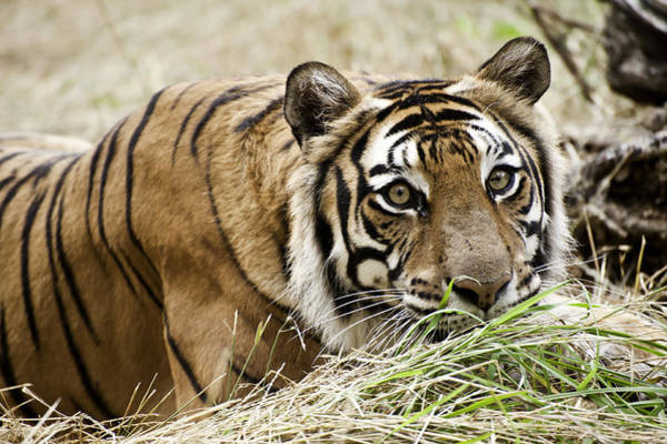 Photograph - In A Tiger's Gaze by Melany Sarafis