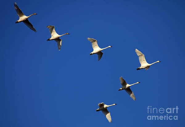 Tundra Swan Photograph - In Formation by Mike  Dawson