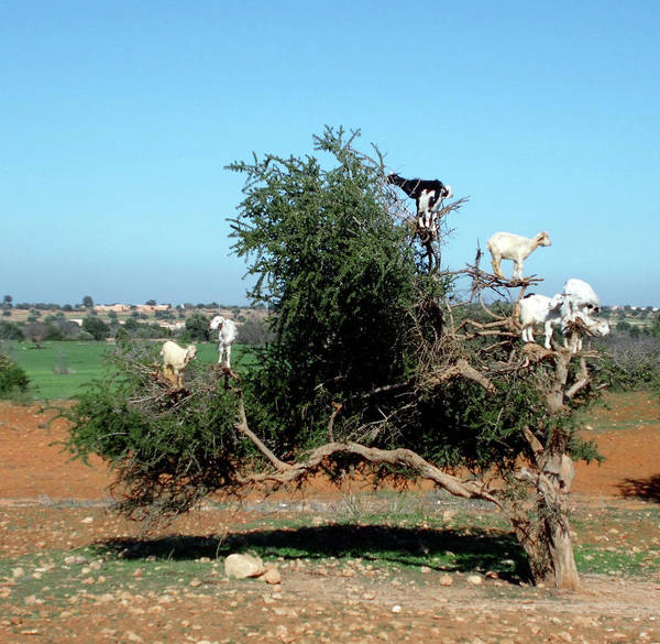Photograph - In Morocco Goats Grow On Trees by Miki De Goodaboom