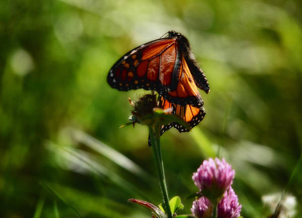 Monarch Butterflies Photograph - In The Breeze by Susan Capuano