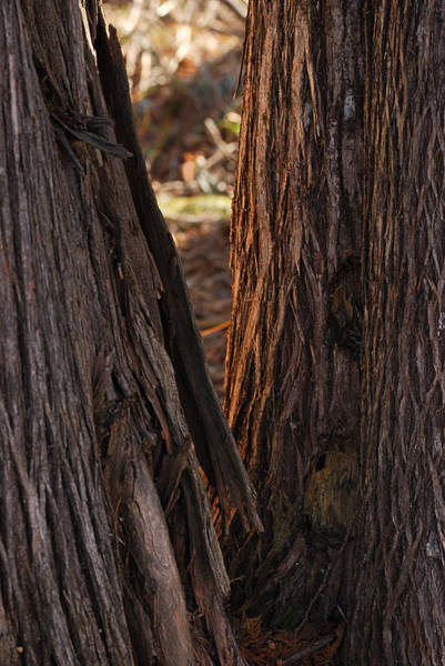 Bark Wall Art - Photograph - In The Cedars by Susan Capuano