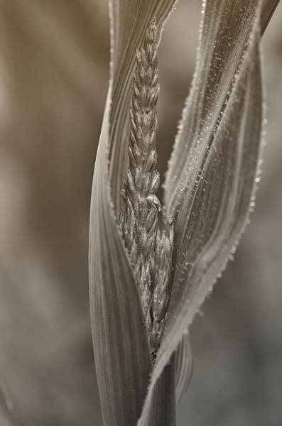 Stalk Photograph - In The Maize by Susan Capuano
