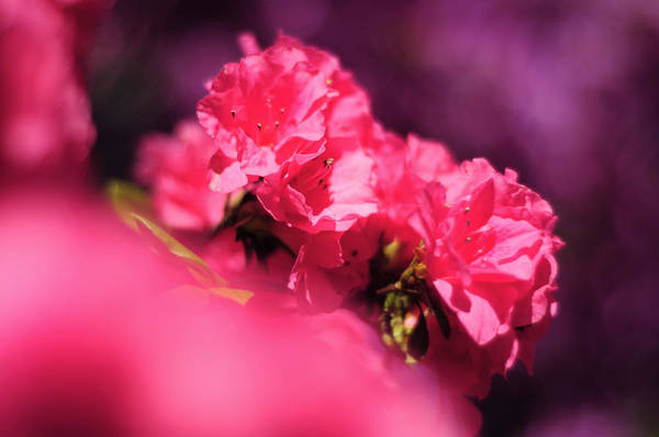 Photograph - In The Pink by Rebecca Sherman