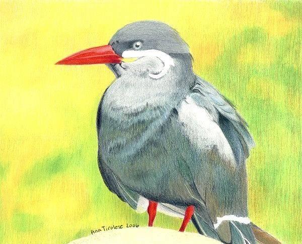 Drawing - Inca Tern by Ana Tirolese