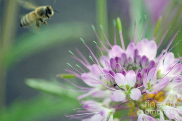 Photograph - Incoming Bee by Donna Greene