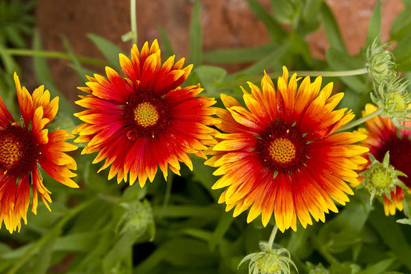 Photograph - Indian Blanket Flowers by Bill Barber
