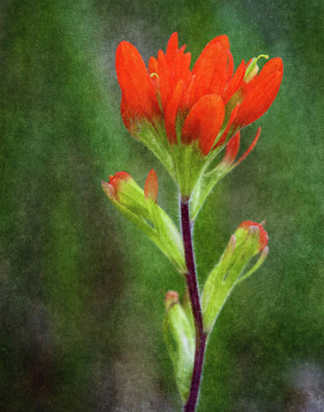 Wall Art - Photograph - Indian Paintbrush by Dale Kincaid