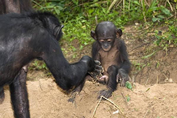 Bonobos Photograph - Infant Bonobo Ape And Mother by Tony Camacho