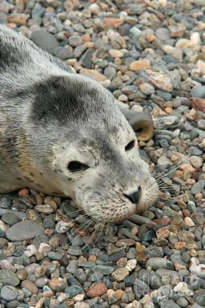 Photograph - Injured Harbor Seal by Ted Kinsman