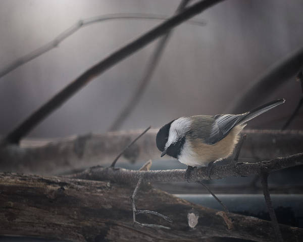 Chickadees Photograph - Inquisitive by Susan Capuano