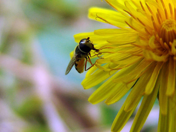 Photograph - Insect On Flower 2 by Alessandro Della Pietra