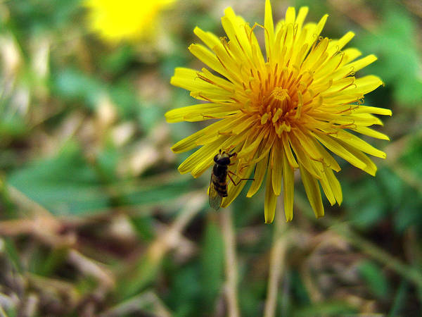 Photograph - Insect On Flower by Alessandro Della Pietra