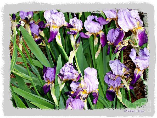 Photograph - Iris Medley by Paulette B Wright