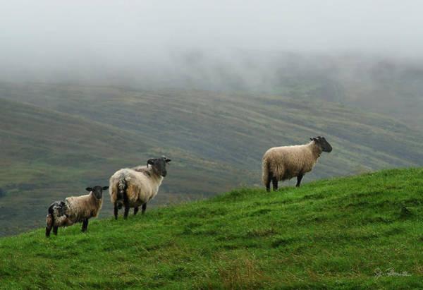 Ovine Photograph - Irish Sheep In The Mist by Joe Bonita
