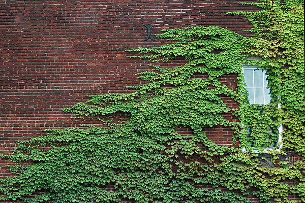 Photograph - Ivy Covered Window by Gary Slawsky