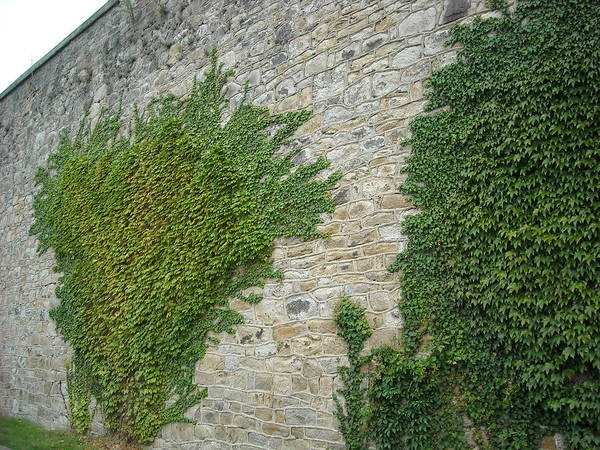 Photograph - Ivy Wall by Christophe Ennis