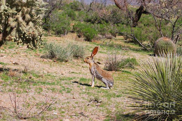 Photograph - Jack Rabbit by Donna Greene