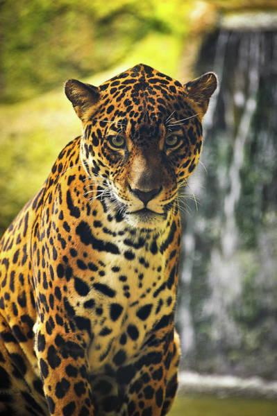 Photograph - Jaguar  by Harry Spitz