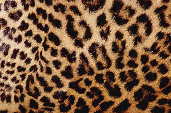 Wall Art - Photograph - Jaguar Panthera Onca Fur, Close-up by Gerry Ellis