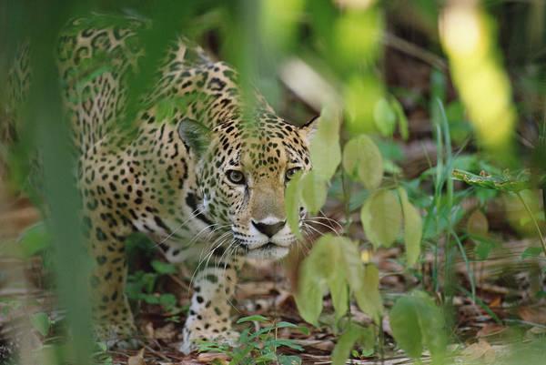 Wall Art - Photograph - Jaguar Panthera Onca Slinking by Gerry Ellis