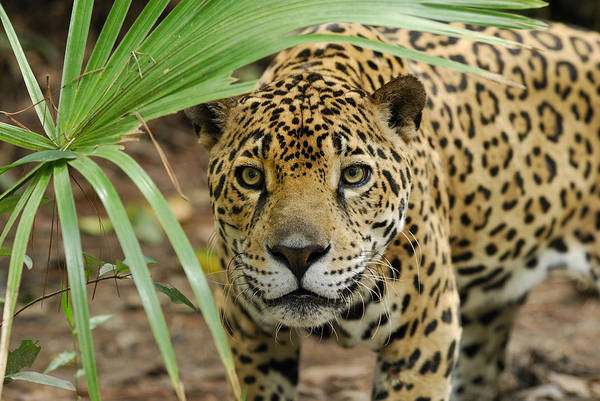 Photograph - Jaguar Peering Through The Brush by Thomas Marent