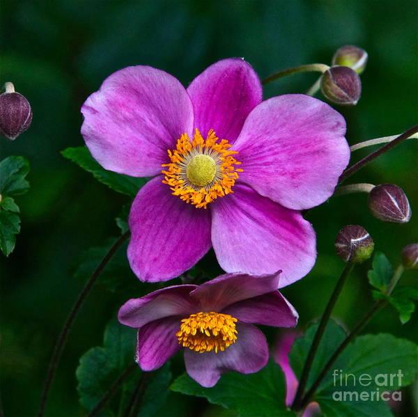 Photograph - Japanese Anemone Close Up by Byron Varvarigos