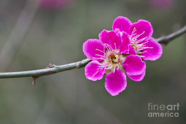 Photograph - Japanese Flowering Apricot. by Clare Bambers