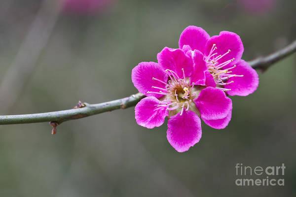 Japanese Flowering Apricot. Art Print
